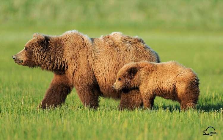медведь, медвежонок, бурый медведь, bear, brown bear