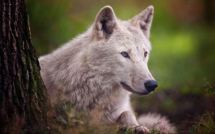 дерево, взгляд, белый, волк, tree, look, white, wolf