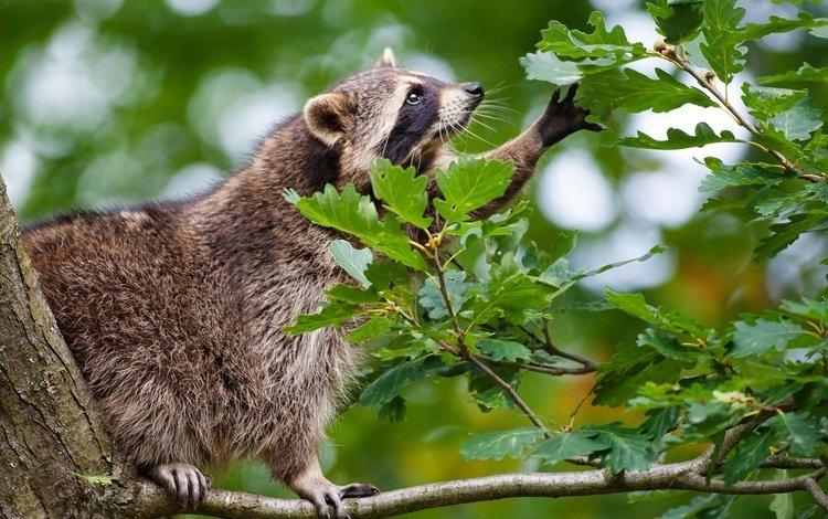 ветка, природа, дерево, листья, животное, енот, branch, nature, tree, leaves, animal, raccoon