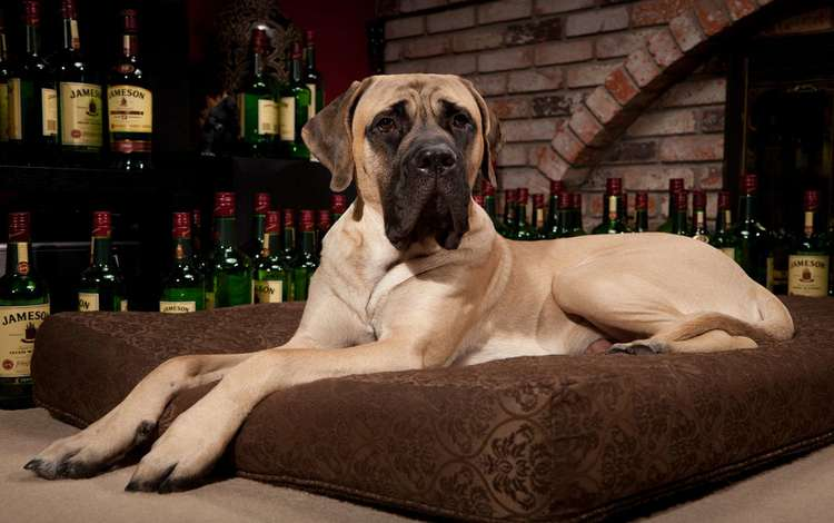 собака, подушка, виски, мастиф, поэа, dog, pillow, whiskey, mastiff, poea