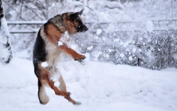 снег, зима, собака, прыжок, немецкая овчарка, snow, winter, dog, jump, german shepherd