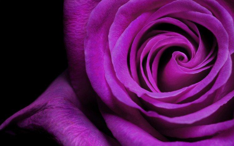 макро, цветок, роза, фиолетовый, красивая, macro, flower, rose, purple, beautiful