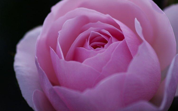 макро, цветок, роза, лепестки, бутон, розовый, пион, macro, flower, rose, petals, bud, pink, peony