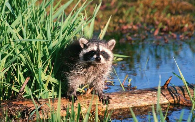 вода, животные, зверек, бревно, енот, осока, water, animals, animal, log, raccoon, sedge