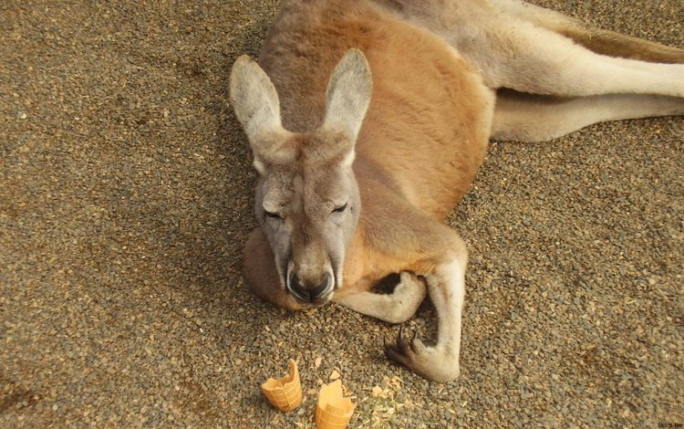 животное, кенгуру, сумчатое, кенгурёнок, animal, kangaroo, marsupials