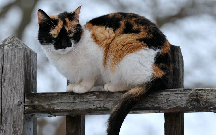 кот, кошка, забор, сидит, пятнистый, трехцветный, cat, the fence, sitting, spotted, tri-color