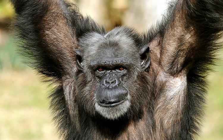 природа, поза, взгляд, обезьяна, примат, шимпанзе, nature, pose, look, monkey, the primacy of, chimpanzees