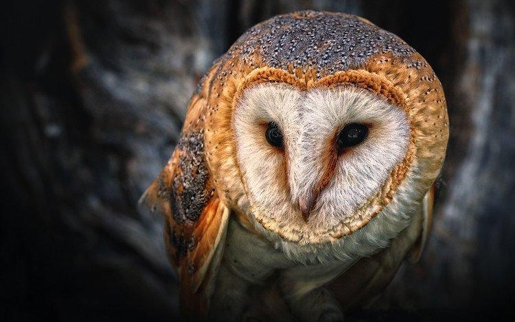 глаза, сова, птица, клюв, филин, сипуха, eyes, owl, bird, beak, the barn owl