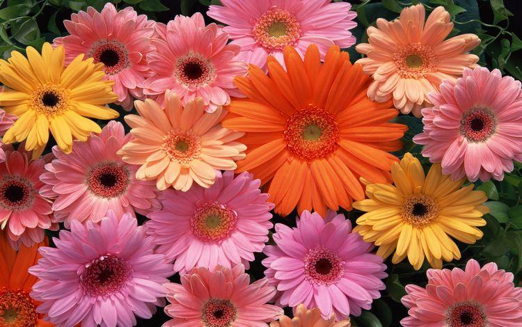 цветы, разноцветные, герберы, flowers, colorful, gerbera