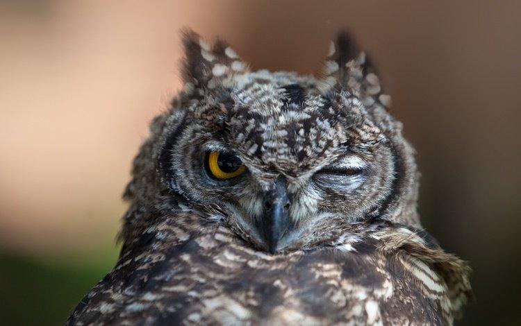 сова, хищник, птица, клюв, перья, филин, подмигивание, owl, predator, bird, beak, feathers, wink