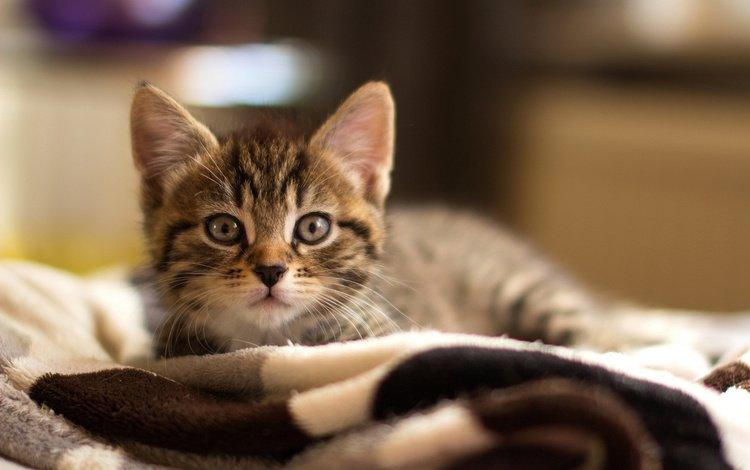 кошка, лежит, серый, малыш, плед, полосатый, котенок на постеле, cat, lies, grey, baby, plaid, striped, the kitten on the bed