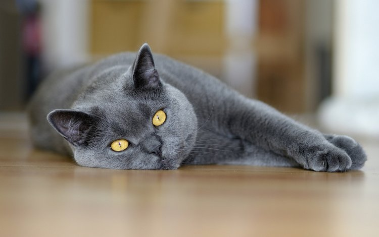 кот, кошка, взгляд, лежит, британец, cat, look, lies, british