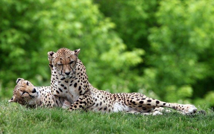 трава, лежат, зелень, гепард, лес, дикие, отдыхает, гепарды, пара, отдых, кошки, хищники, grass, lie, greens, cheetah, forest, wild, resting, cheetahs, pair, stay, cats, predators