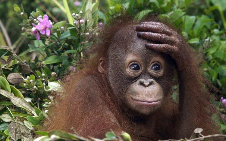 лето, обезьяна, эмоции, детеныш, орангутан, summer, monkey, emotions, cub, orangutan
