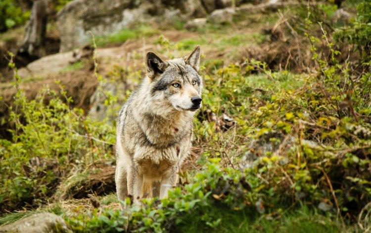 природа, лес, взгляд, хищник, волк, nature, forest, look, predator, wolf