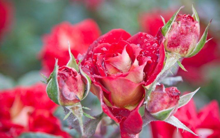 цветы, природа, макро, роса, розы, роза, лепестки, красивая, flowers, nature, macro, rosa, roses, rose, petals, beautiful