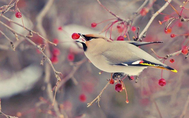 дерево, зима, ветки, птица, плоды, яблочки, свиристель, tree, winter, branches, bird, fruit, apples, the waxwing