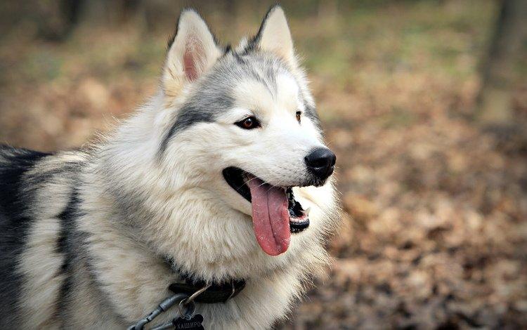 морда, собака, язык, аляскинский маламут, face, dog, language, alaskan malamute