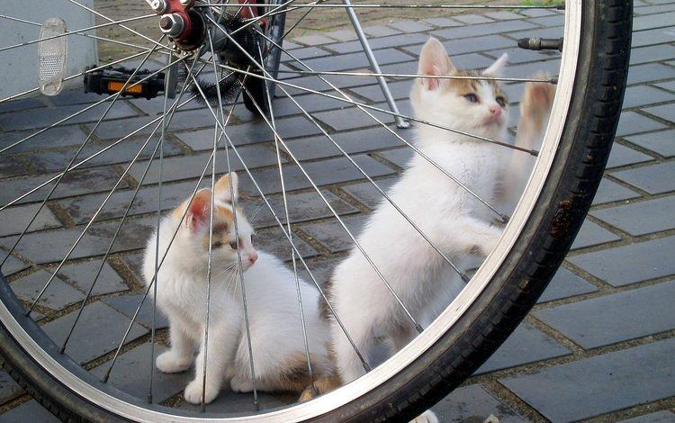 игра, белые, кошки, котята, велосипед, брусчатка, the game, white, cats, kittens, bike, pavers
