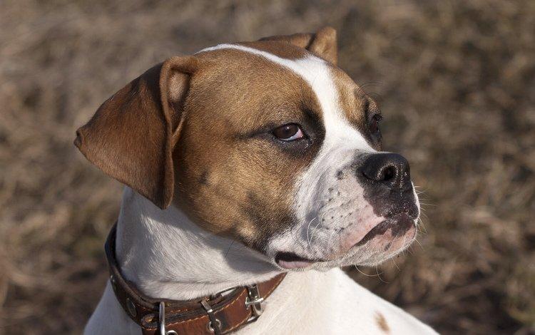 морда, взгляд, собака, ошейник, боксер, face, look, dog, collar, boxer