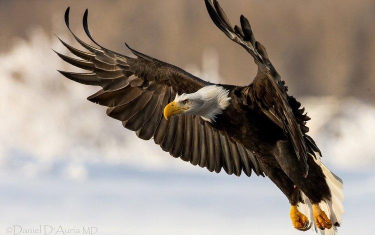 полет, крылья, хищник, птица, белоголовый орлан, flight, wings, predator, bird, bald eagle