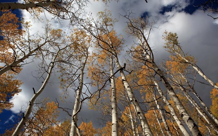 небо, облака, лес, березы, осень, the sky, clouds, forest, birch, autumn
