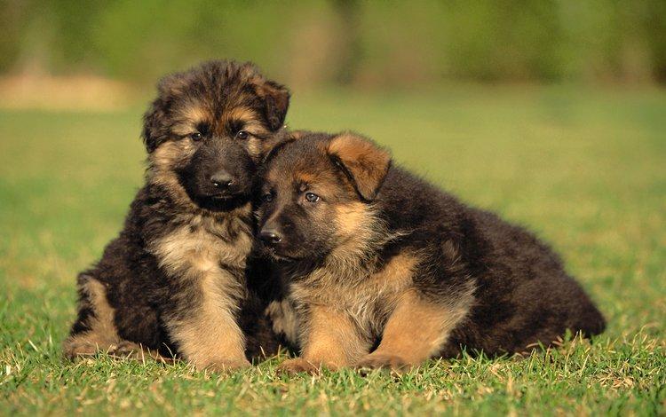 трава, щенки, малыши, собаки, немецкая овчарка, grass, puppies, kids, dogs, german shepherd