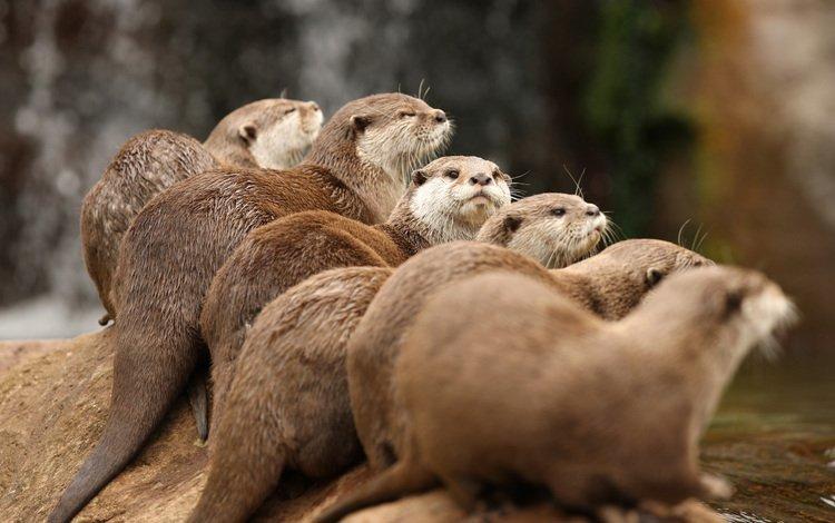 вода, животные, выдра, выдры, water, animals, otter, otters