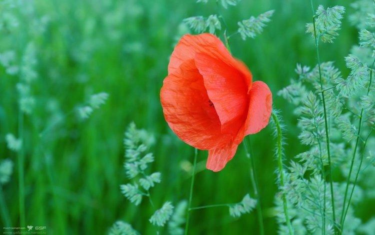 cvety, trava, mak