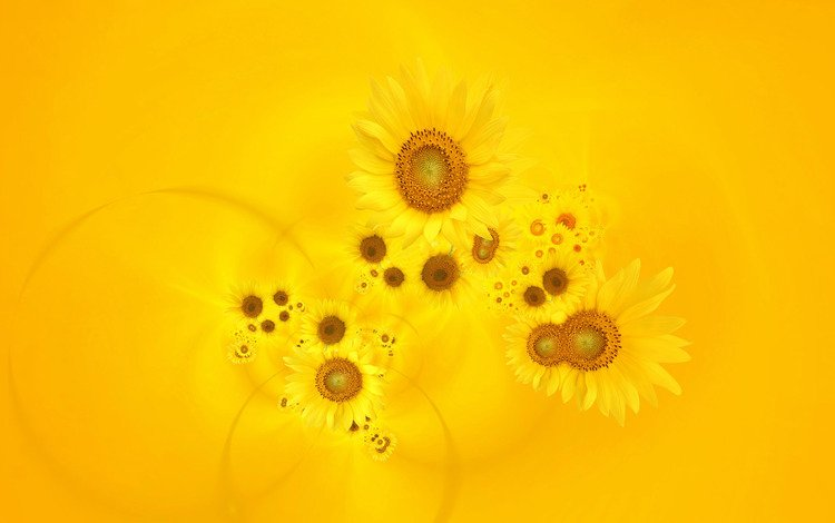 cvety, podsonuxi, zheltyj fon