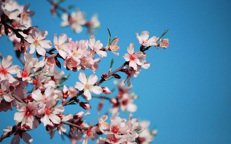 sakura, cvety, nebo, vishnya, rozovye, vetvi, g, lepestki