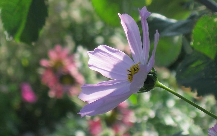 цветок, лето, сад, космея, flower, summer, garden, kosmeya