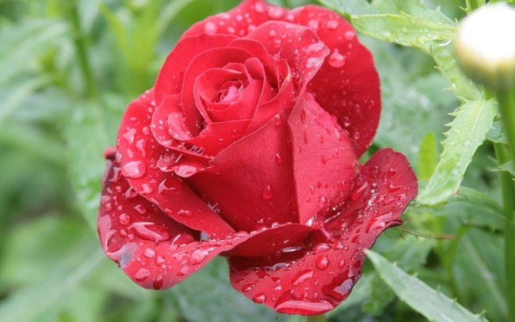роса, cvety, cvetok, kapli, roza, krasnaya, priroda, utro, rosa