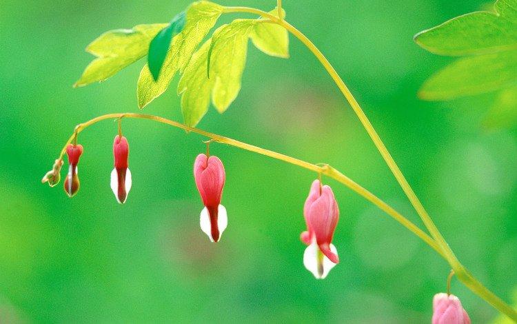 rozovyj, cvetok, listya, rastenie, stebel, zelenyj, prir