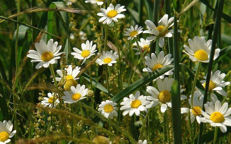 полюс, cvety, romashki, pole