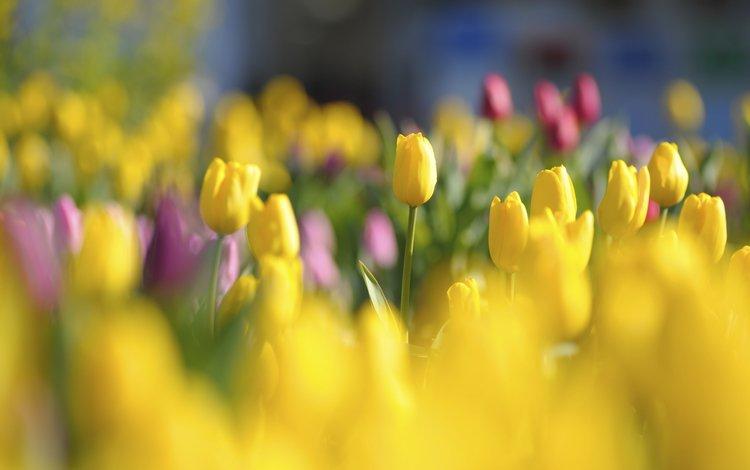 cvety, zheltye, tyulpany, butony, krasnye, yarkie, polya