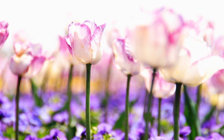 cvety, belye, tyulpany, butony, rozovye, stebli, sirenev