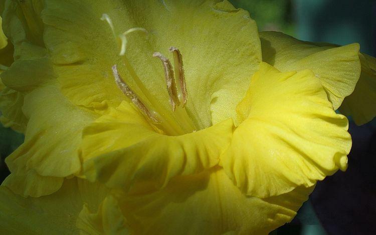 гладиолус, cvetok, zheltyj, gofrirovannyj, gladiolus