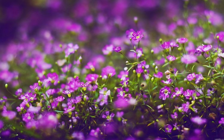 Сиреневые полевые цветы