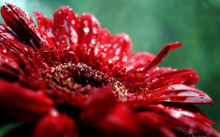 роса, cvety, makro, priroda, rosa