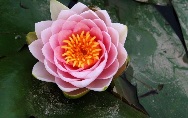 rozovyj, lotos, kuvshinka, леспестки, lepestki