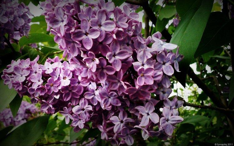 cvety, listya, sirne