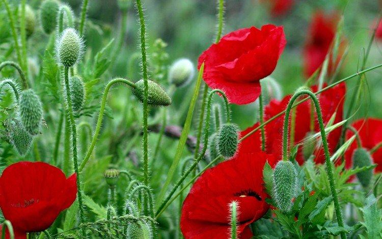 цветы, листья, красные, красный, маки, стебли, яркие, полевые, flowers, leaves, red, maki, stems, bright, field