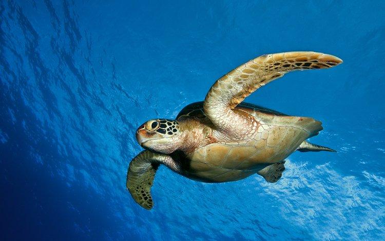 море, черепаха, панцирь, океан, плавники, подводный мир, sea, turtle, shell, the ocean, fins, underwater world