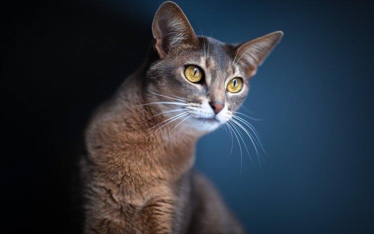 кошка, черный фон, коты, кошки, синий фон, серый кот, cat, black background, cats, blue background, grey cat