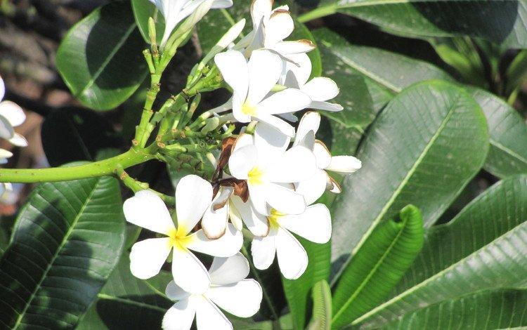 цветы, cvety, krasota, tajland, плюмерия, flowers, plumeria