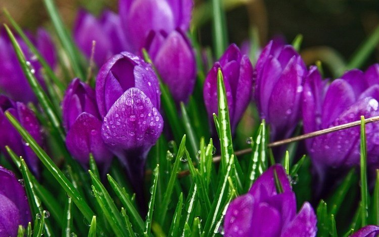 cvety, fioletovyj, cvetok, priroda, cvet, krokusy, raste