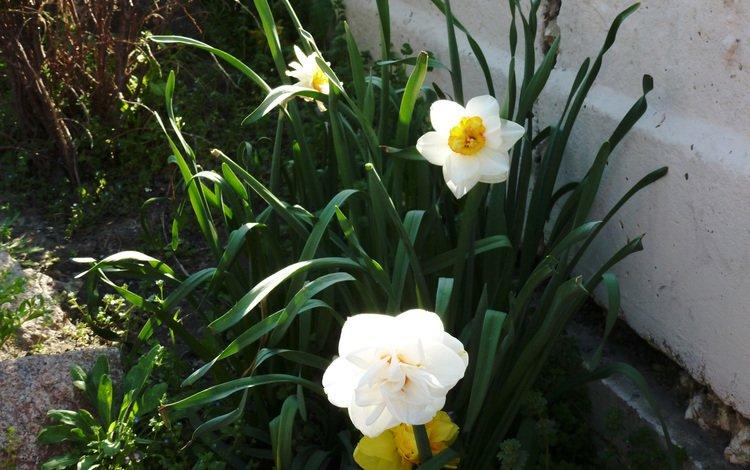киев, narciss, botanicheskij sad, maj, kiev, owner