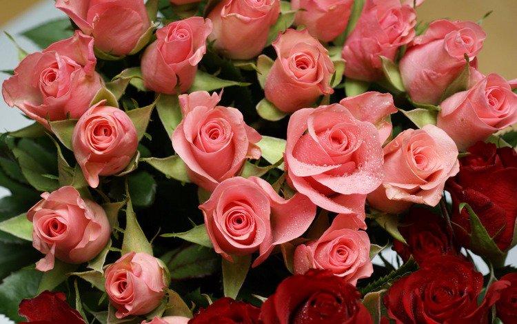 cvety, rozy, raznye, розовые розы, pink roses