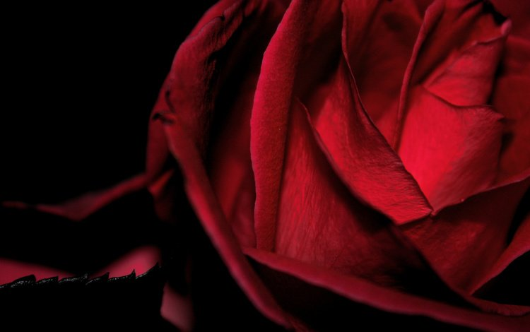 flower, rose, red, velvet, macro black background